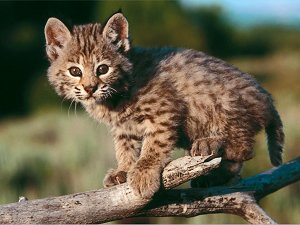 This is a baby bobcat! :-)